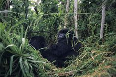 Rwanda has one of the world's largest gorilla populations. You can get pretty close to them at Volcanoes National Park.