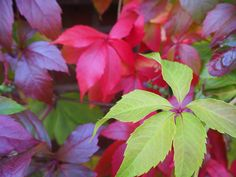 Autumn ivy leaves, York, UK