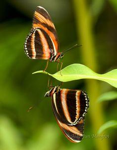 Orange Tiger Butterflies