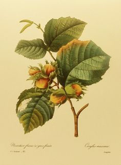 Filbert Leaf Fruit Flower Nut Print, Botanical Illustration to Frame (Kitchen Decor) Pierre Joseph Redoute No. 85