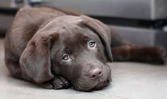 Fergus the chocolate lab pup by cmitchell
