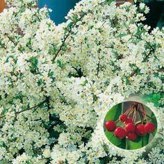 Zwerg-Zierapfel 'Tina' jetzt günstig in Ihrem MEIN SCHÖNER GARTEN - Gartencenter schnell und bequem online bestellen.