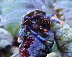 blue knuckle hermit crab (3)