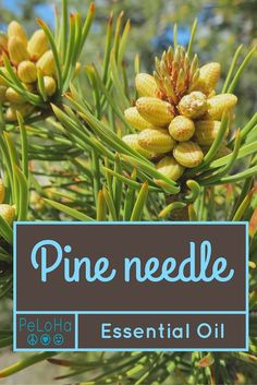 What can you use Pine Needle essential oil for?  Tons of things!