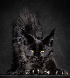 Portraits of Maine Coon by Robert Sijka