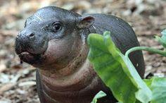 baby pygmy hippos - Google Search