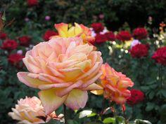 Yummy Portland Rose Garden