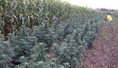 charlesmustafaa:Man Who Grows Marijuana Illegally To Help Sick People: 'I Will Keep Doing It' http://do.co.vu/1yN0bhc