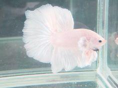 i want a white beta fish next :)