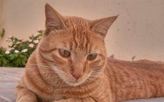 Download wallpapers Arabian Mau Cat, Felis catus, 4k, pet, ginger cat, cute animals, cats