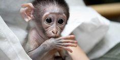 Mangabey ape, Loango, at Jardin des Plantes zoo, Paris, France (© PMG/SIPA )