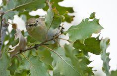 Luì piccolo - Narbolia (OR) - su Quercus pubescens - Nikon D300 con Nikon 200/400mm f/4 - iso 400 - #guidofrilli