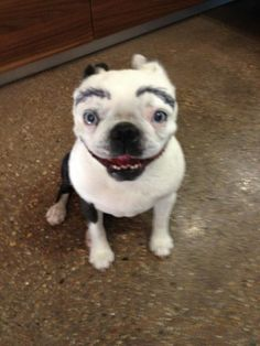 Boston terrier sharpie eyebrows - Imgur.....  I don't think I will ever stop laughing...