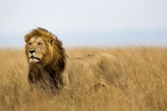 What Wild Animal Are You? - Take a quiz on the wild side. - Quiz  I'm a lion.