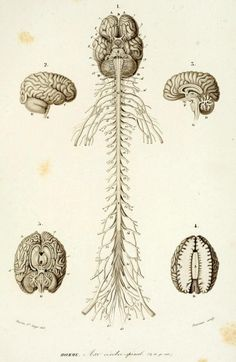 Human Central Nervous System and Peripheral Nervous System Connections