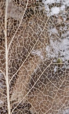 skeleton magnolia leaf by knitalatte11 on Flickr as seen on linenandlavender.net - http://www.linenandlavender.net/p/a-collection-of-favorites.html