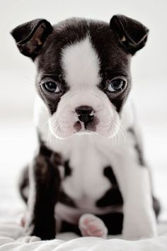 French Bulldog puppy -pretty sure this is a Boston terrier- Cute Baby Animals, Funny Animals, Wild Animals, Cute Puppies, Dogs And Puppies, Bulldog Puppies, Pet Dogs, Dog Cat, Doggies