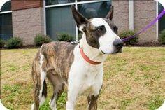 Birmingham, AL - Greyhound Mix. Meet Boomer a Dog for Adoption.