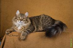 Siberian Cat - photo by Chaman