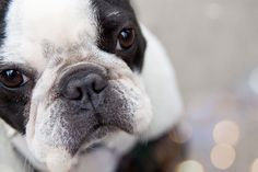 French Bulldog - Pros and Cons: http://www.frenchbulldogbreed.net/french-bulldog/french-bulldog-pros-cons.html