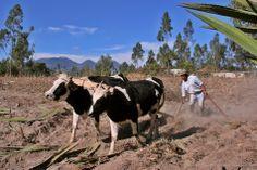 vroeger gebruikte ze ook koeien om bijvoorbeeld de ploeg te trekken. dit gebeurd nu nog steeds in arme landen.