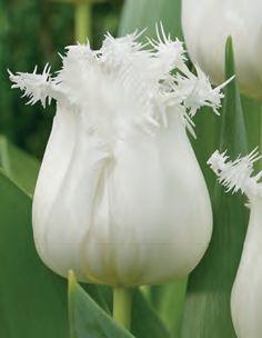 Tulipa `Honeymoon`