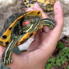 Red eared slider not my turtle mine is a boy and this is a girl. But she's so sweet.