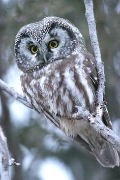 Boreal Owl, also known as Pearl Owl & Tengmalmus Owl