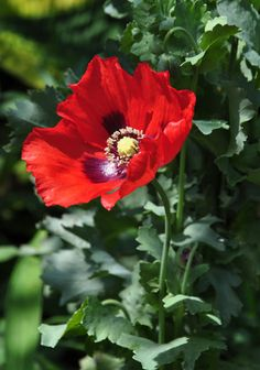 Three Dogs in a Garden: Late Bloomers & other treasures at Lost Horizons All Flowers, Beautiful Flowers, Lost Horizon, Poppy Seed Dressing, Red Poppies, Pansies, Flower Art, Flower Power, Perennials