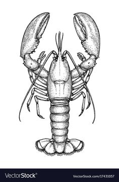 Find Ink Sketch Lobster Isolated On White stock images in HD and millions of other royalty-free stock photos, illustrations and vectors in the Shutterstock collection. Thousands of new, high-quality pictures added every day. Lobster Drawing, Lobster Art, Fish Drawings, Animal Drawings, Art Drawings, Crab Art, Fish Art, Lobster Tattoo, Nautical Tattoos