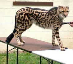 King Cheetah. Very rare!!!