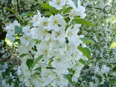 100 types of the most beautiful white flowers for your garden 100 types of the most beautiful white flowers for your garden apartment living pinterest white flowers flowers and gardens mightylinksfo