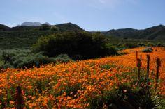Namaqualand daisies, Karoo Desert NBG