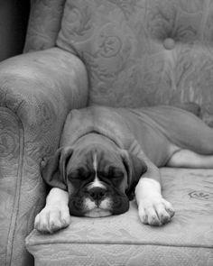 Boxer puppy 2