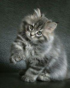 """[Maine Coon Kitten --------------------- ** GRAY TAB: """" Hustlers of de world; der be one mark yoo can'ts hide. De mark be inside."""""""