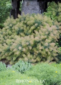 Monrovia's Magical® Green Fountain Smoke Tree details and information. Learn more about Monrovia plants and best practices for best possible plant performance.