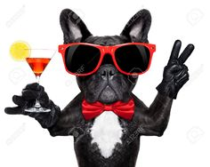drinking alcohol: french bulldog dog holding martini cocktail glass ready to have fun and party::(((