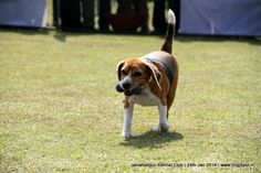 Jamshedpur Obedience Dog Show 2014 Corso Dog, Dog Show, Baby Dogs, Dog Pictures, Beagle, Animals, Animales, Pictures Of Dogs, Animaux