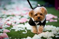 Yorkie in a Tux as a #RingBearer I Artisan Event Floral Decor I #pets #petringbearer #yorkies