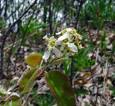 Amelanchier spicata (dwarf serviceberry, dwarf shadbush): Go Botany Dwarf, Botany, Flowers, Plants, Florals, Planters, Flower, Blossoms, Dwarfism