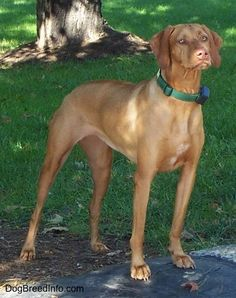 The front right side of a reddish tan with white Vizsla is standing in dirt and it is looking to the right. The dog is tall and has yellow eyes and a brown nose.
