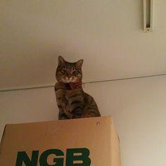 「こんばんわ~ Hello~  #ネコ #ねこ #猫 #猫写真 #ニャンコ強化月間 #しましま軍団 #きじねこ #きじとら #キジネコ #キジトラ #cat #catstagram #neko #kitty #tabby #instacat #고양이」