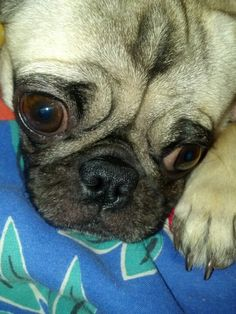 My Puggie