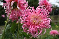 Dahlia Star`s Favourite Pink Garden, Colorful Garden, Gladioli, Cactus, Dahlias, Stars, Plants, Gardens, Beautiful