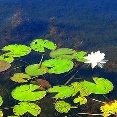Water lily in Huntsville , Ontario