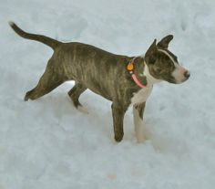 Boxer Terrier | brindle boxer terrier mix ---our new Roxy Rose