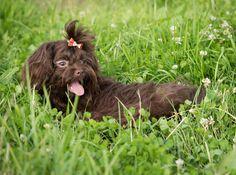 beliebte Hunderasse in Österreich, beliebte Hunderasse, Hunderassen für Familien, Hunderasse die sehr beliebt sind in Deutschland und Österreich Maltipoo, Labradoodle, Jack Russell Terrier, Yorkshire Terrier, Rhodesian Ridgeback, Australian Shepherd, Chihuahua, Dogs, Animals
