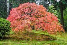 Résultats de recherche d'images pour «japanese maple»