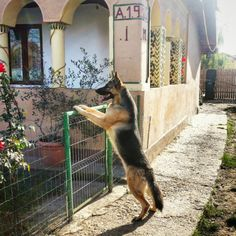Something to see... German shepherd. King Shepherd, Shiloh Shepherd, White Shepherd, Belgian Shepherd, German Shepherd Dogs, German Shepherds, All Dogs, Best Dogs, Three Dog Night