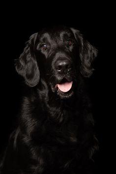 Sort hund på sort bakgrunn gir dramatikk og spenning. Hundens pels skinner i lyset. Studio, Fine Art, Pictures, Animals, Lily, Photos, Animales, Animaux, Studios